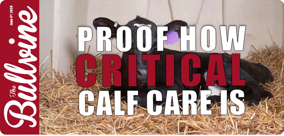 Proof How Critical Calf Care Is