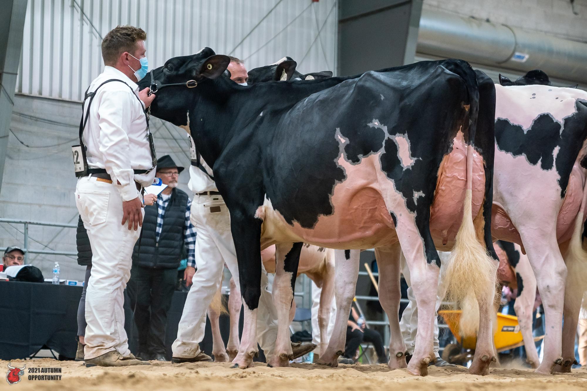 Autumn Opportunity Holstein Show